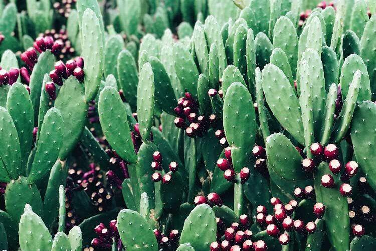 cactus-garden-AN98Z84
